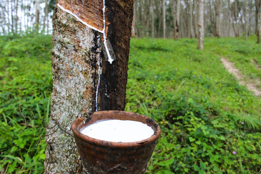 Talalay Rubber Sap Tree